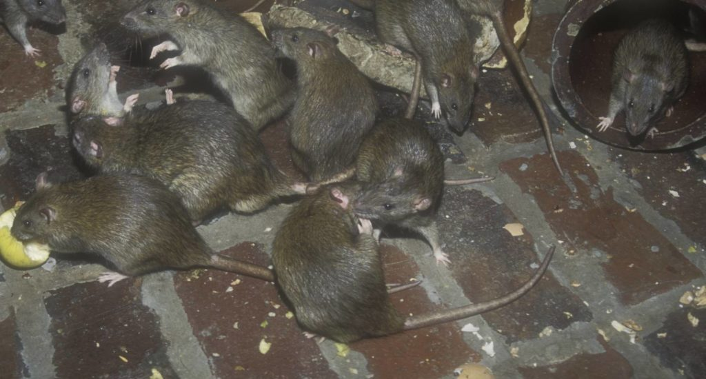 уничтожение крыс в Анапе